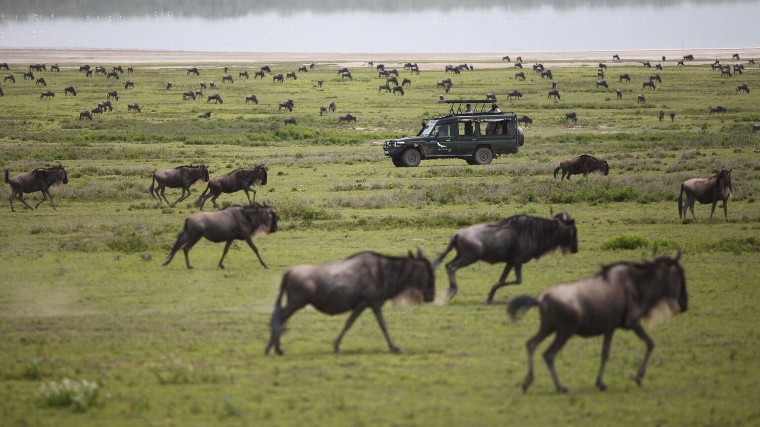 Wildebeests make their dramatic crossing of the northern Serengeti plains