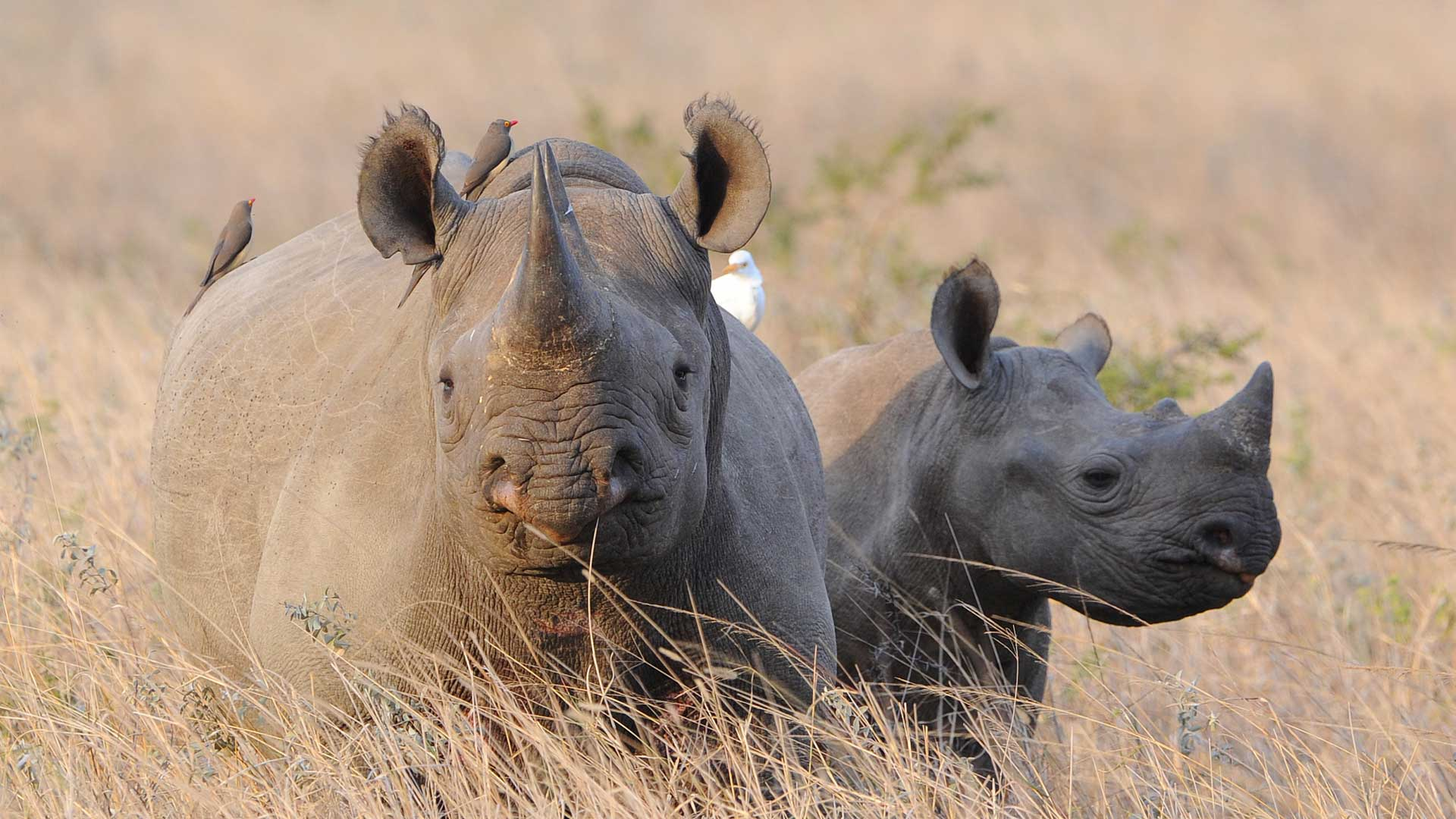Black Rhinoceros population